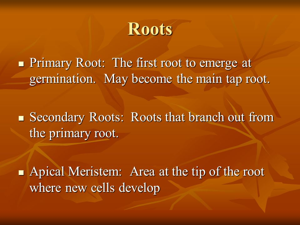 Roots Primary Root: The first root to emerge at germination. May become the main tap root. Primary Root: The first root to emerge at germination. May