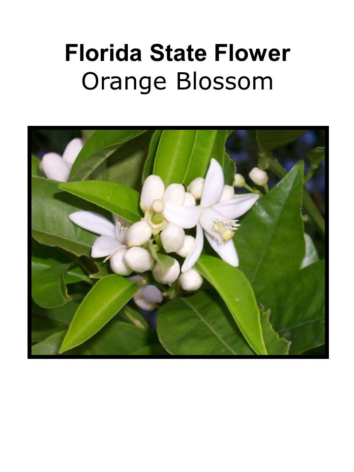 Florida State Flower Orange Blossom