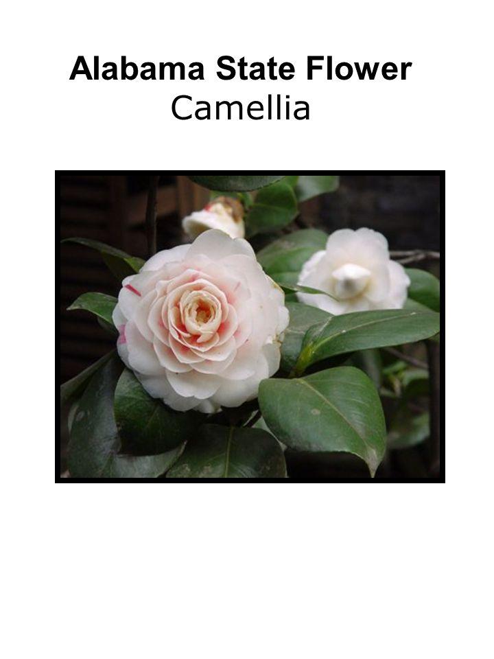 Alabama State Flower Camellia