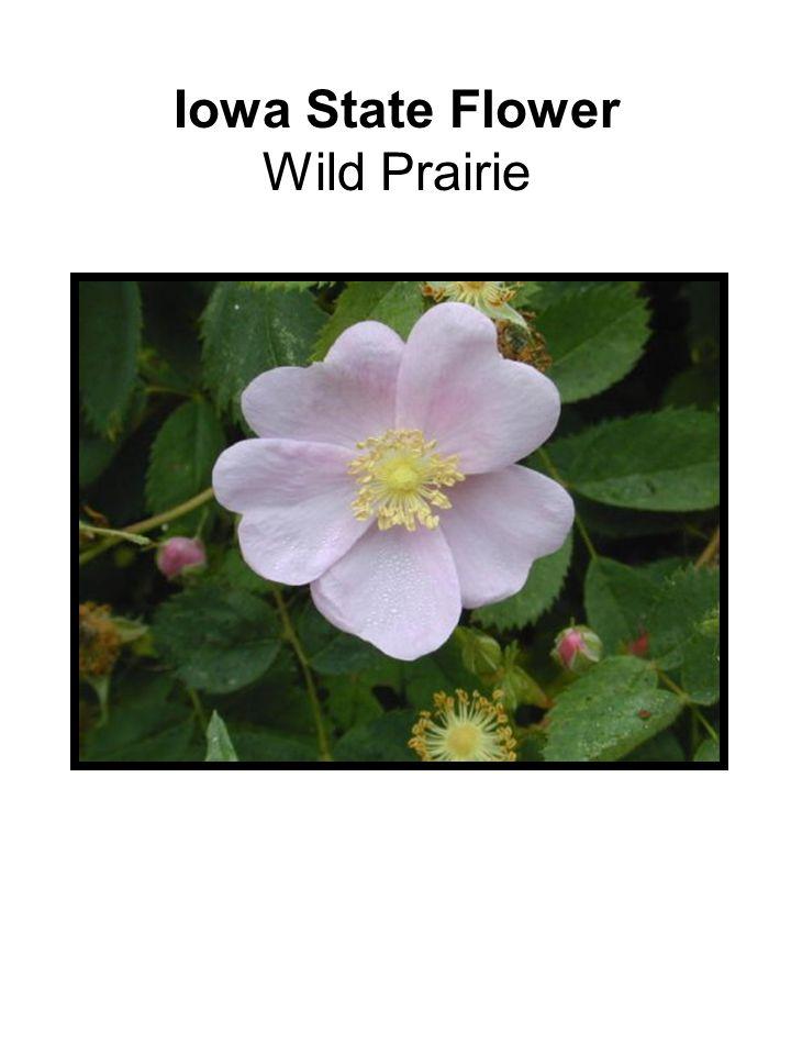 Iowa State Flower Wild Prairie
