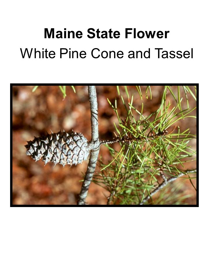 Maine State Flower White Pine Cone and Tassel