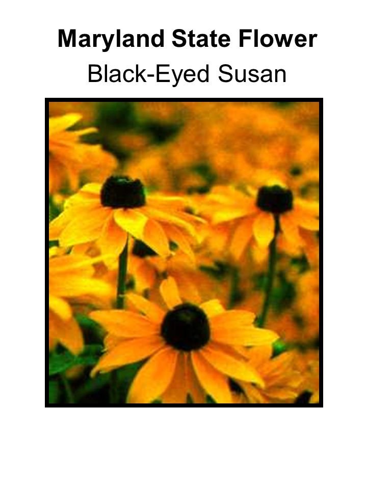 Maryland State Flower Black-Eyed Susan