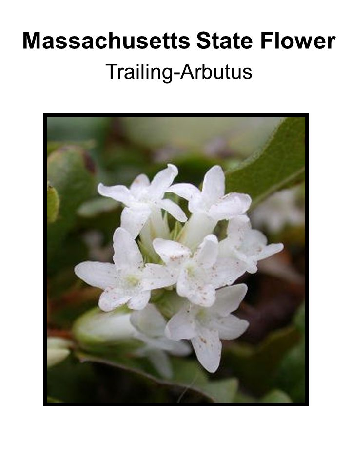 Massachusetts State Flower Trailing-Arbutus