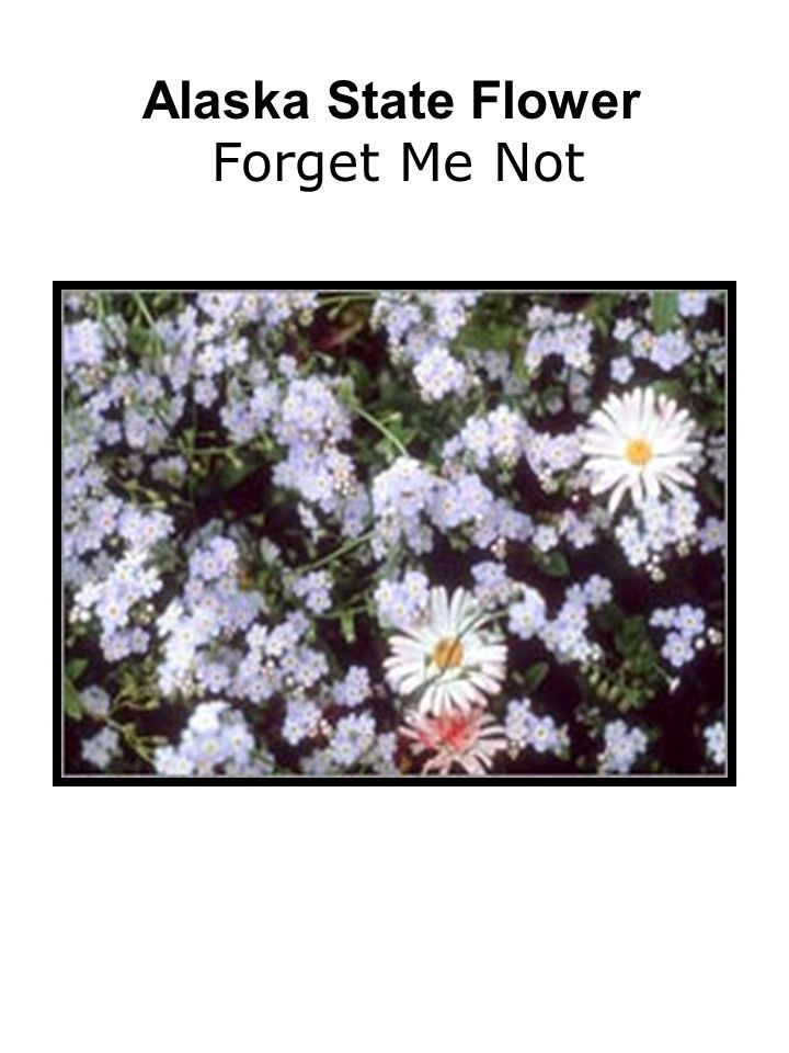 Alaska State Flower Forget Me Not
