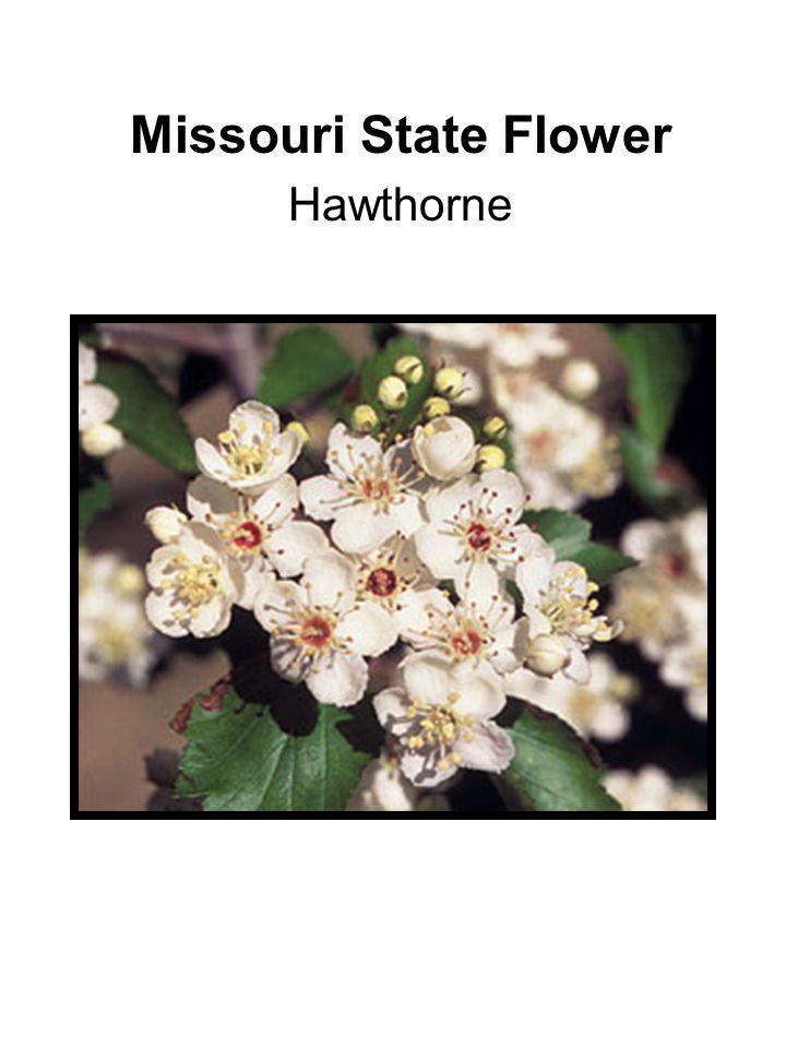 Missouri State Flower Hawthorne
