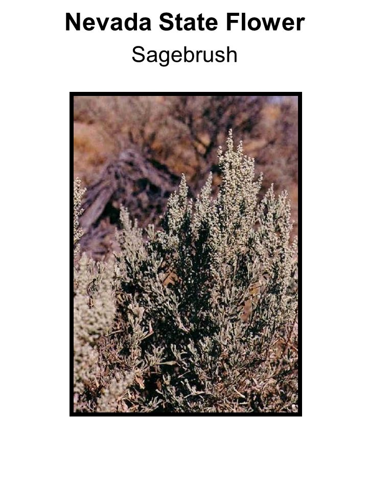 Nevada State Flower Sagebrush