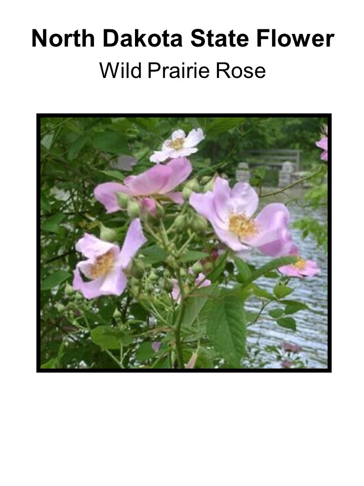 North Dakota State Flower Wild Prairie Rose