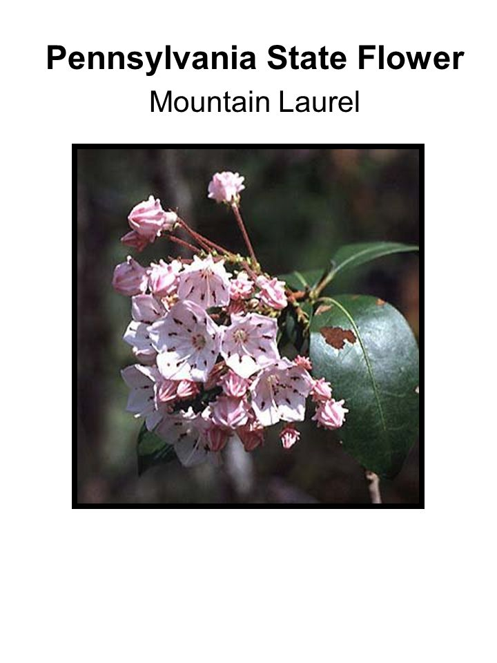 Pennsylvania State Flower Mountain Laurel