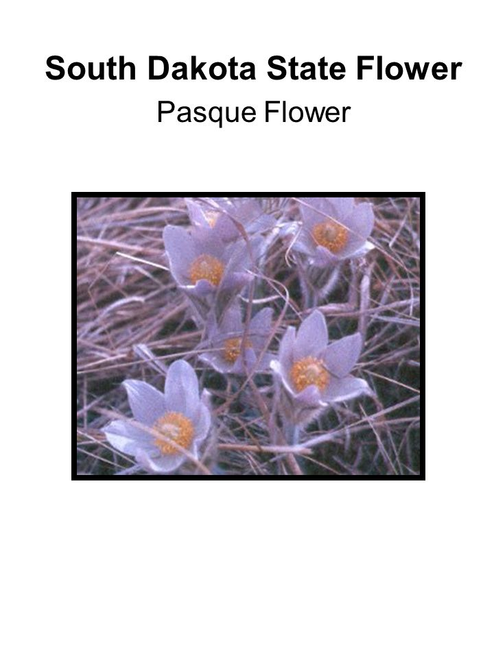 South Dakota State Flower Pasque Flower