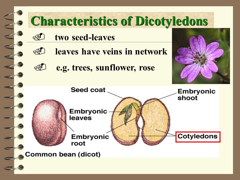 Dicotyledons Veins in network