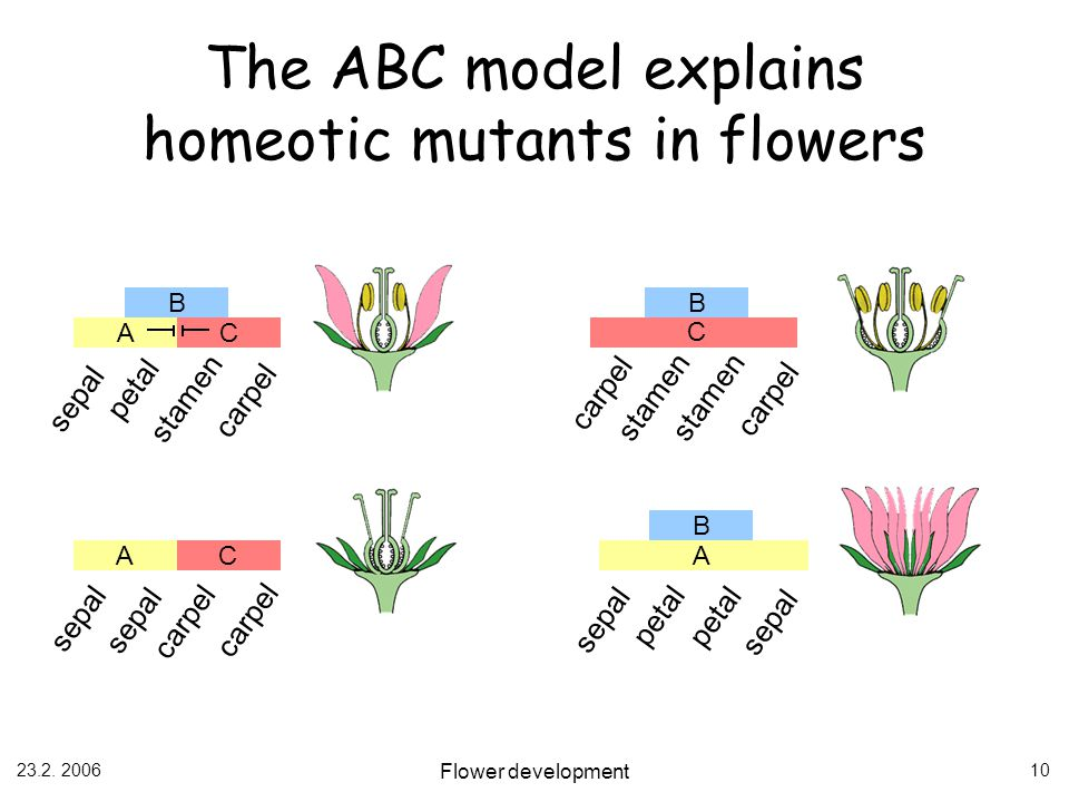 23.2. 2006 Flower development 10 B AC sepal petal stamen carpel B C stamen carpel AC sepal carpel B A sepal petal sepal The ABC model explains homeoti