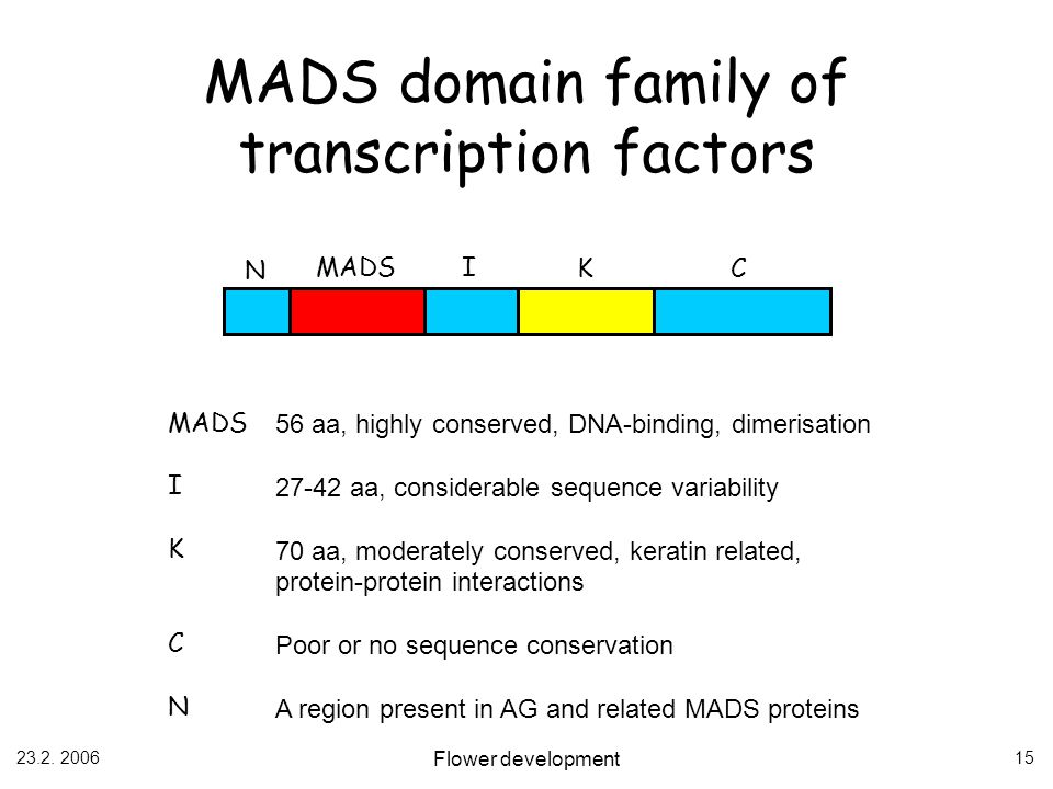 23.2. 2006 Flower development 15 MADS N C I K I K C N 56 aa, highly conserved, DNA-binding, dimerisation 27-42 aa, considerable sequence variability 7