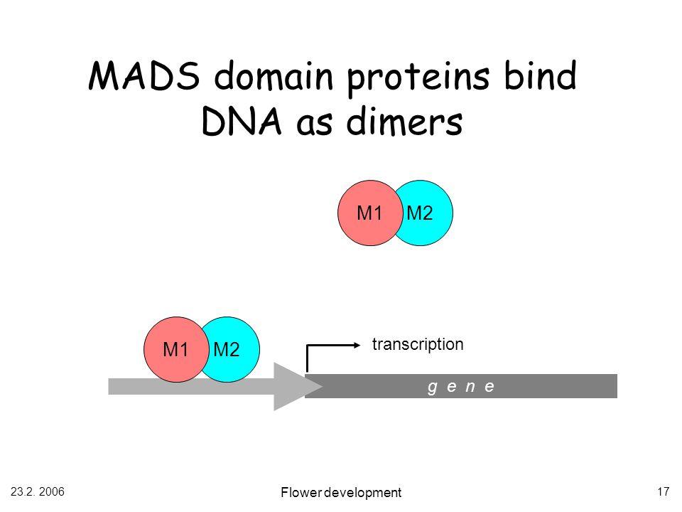 23.2. 2006 Flower development 17 MADS domain proteins bind DNA as dimers g e n e M2 M1 M2 M1 transcription
