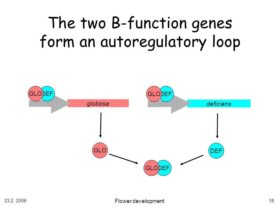 23.2. 2006 Flower development 18 The two B-function genes form an autoregulatory loop globosa DEF GLO DEF GLO deficiens DEF GLO DEF GLO