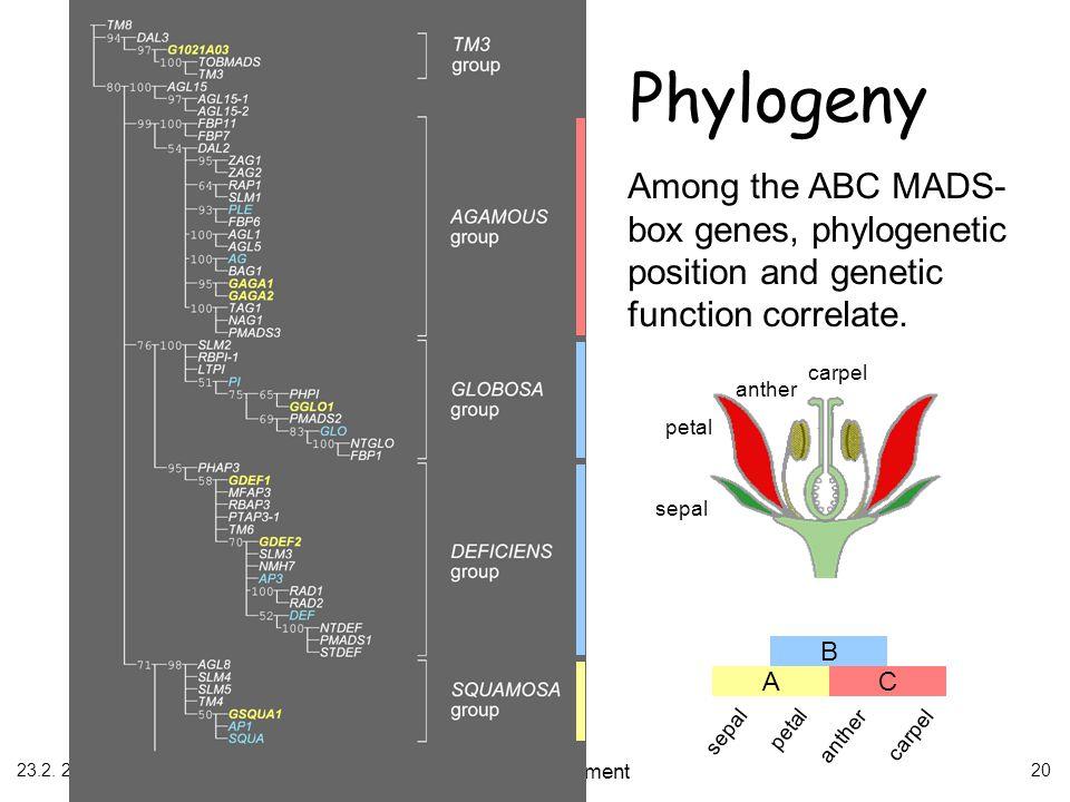 23.2. 2006 Flower development 20 sepal petal anther carpel B AC sepal petal anther carpel Among the ABC MADS- box genes, phylogenetic position and gen