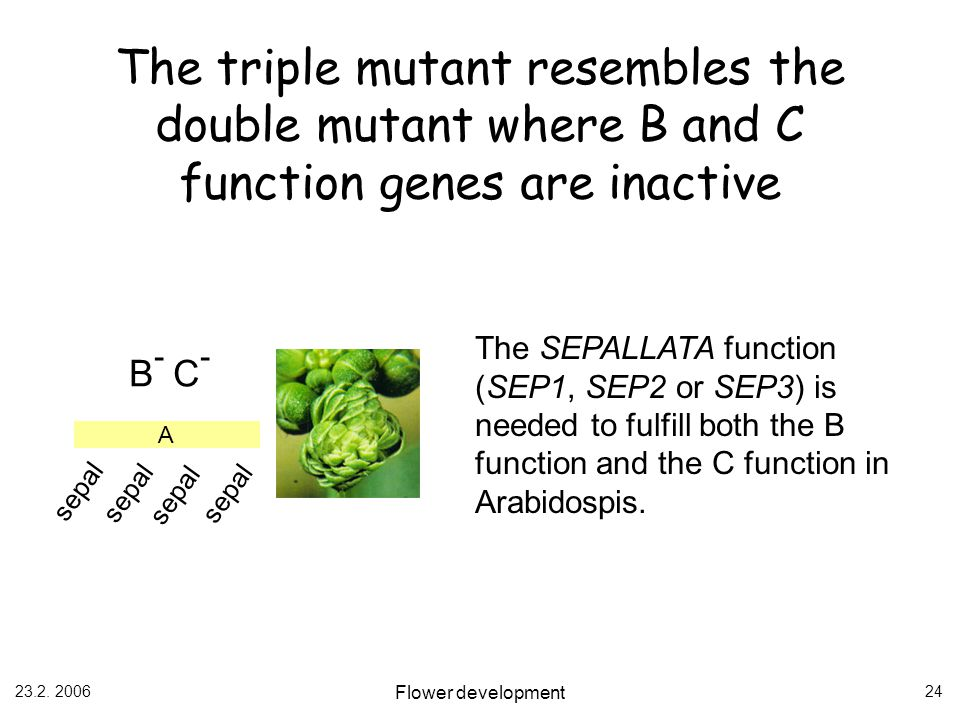 23.2. 2006 Flower development 24 A sepal B - C - The SEPALLATA function (SEP1, SEP2 or SEP3) is needed to fulfill both the B function and the C functi