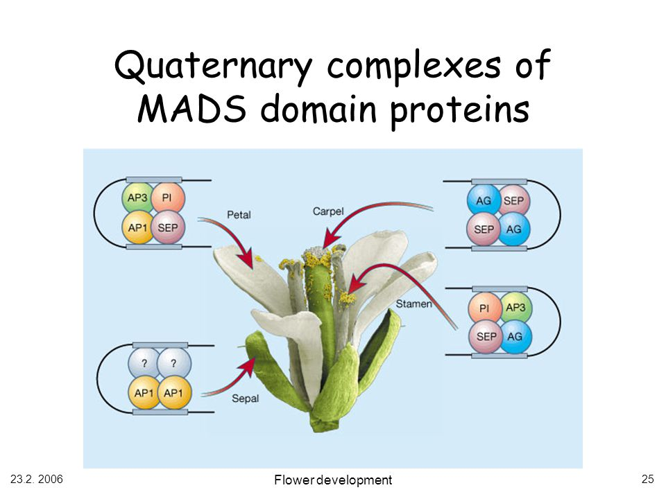 23.2. 2006 Flower development 25 Quaternary complexes of MADS domain proteins