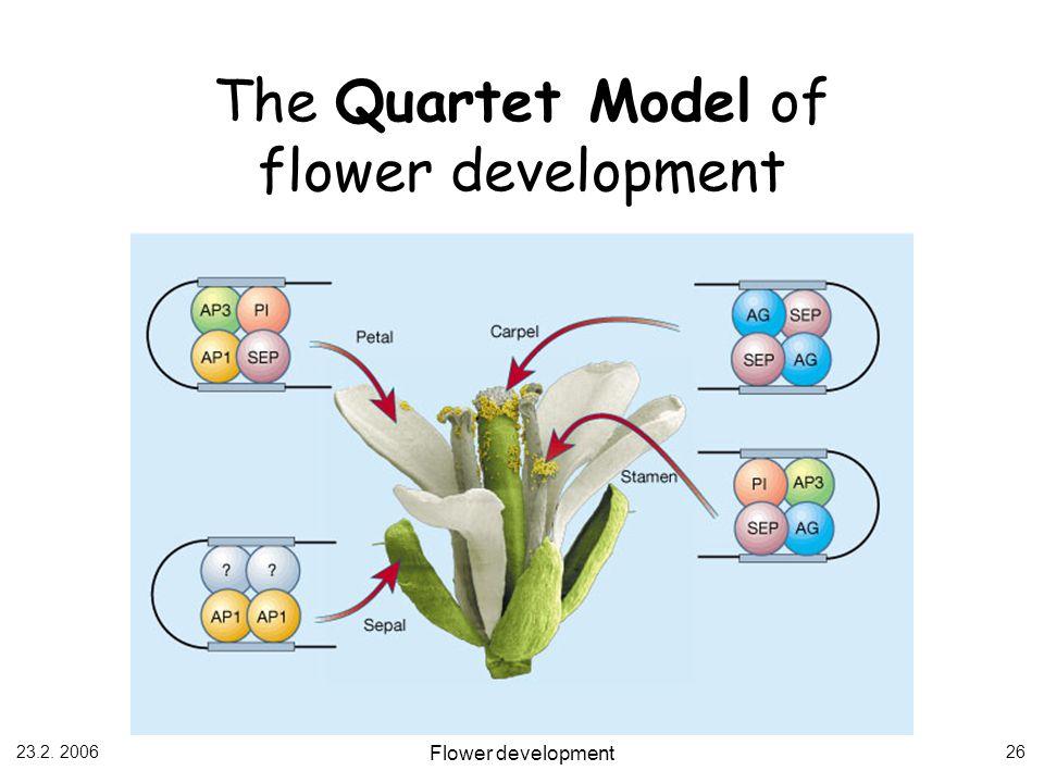 23.2. 2006 Flower development 26 The Quartet Model of flower development