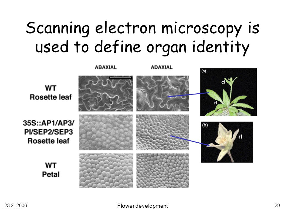 23.2. 2006 Flower development 29 Scanning electron microscopy is used to define organ identity