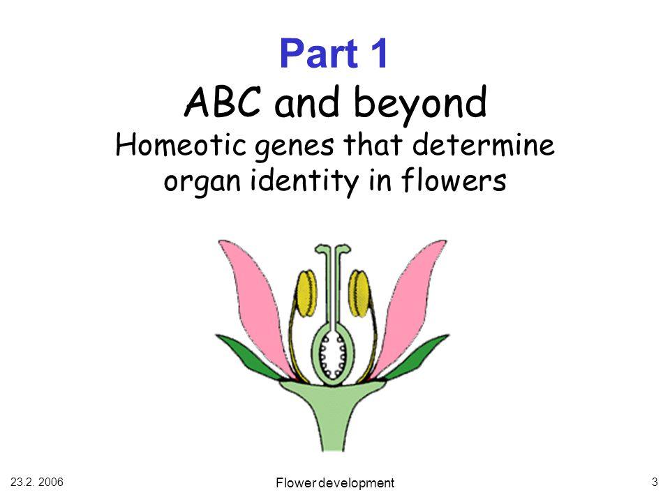 23.2. 2006 Flower development 3 Part 1 ABC and beyond Homeotic genes that determine organ identity in flowers
