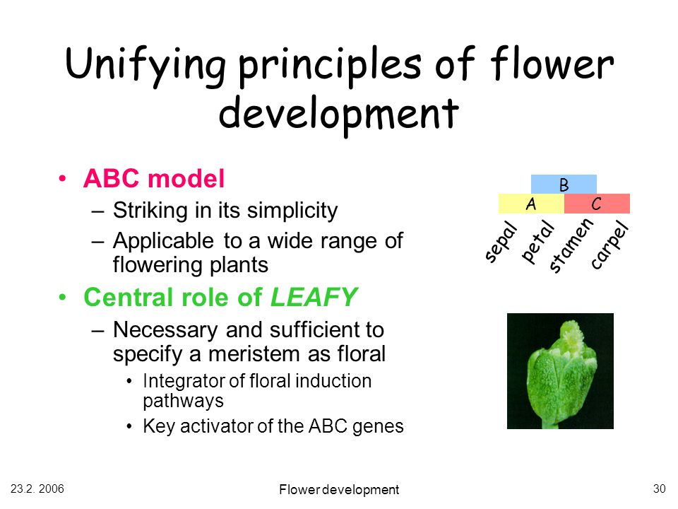 23.2. 2006 Flower development 30 Unifying principles of flower development ABC model –Striking in its simplicity –Applicable to a wide range of flower