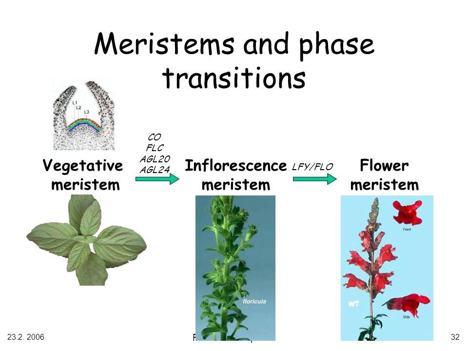 23.2. 2006 Flower development 32 Inflorescence meristem Vegetative meristem Flower meristem CO FLC AGL20 AGL24 LFY/FLO wt Meristems and phase transiti