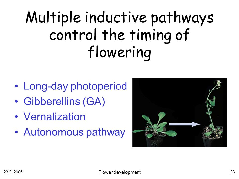 23.2. 2006 Flower development 33 Multiple inductive pathways control the timing of flowering Long-day photoperiod Gibberellins (GA) Vernalization Auto