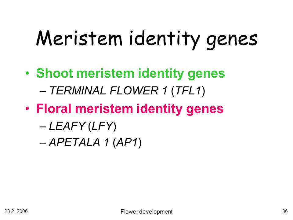 23.2. 2006 Flower development 36 Meristem identity genes Shoot meristem identity genes –TERMINAL FLOWER 1 (TFL1) Floral meristem identity genes –LEAFY