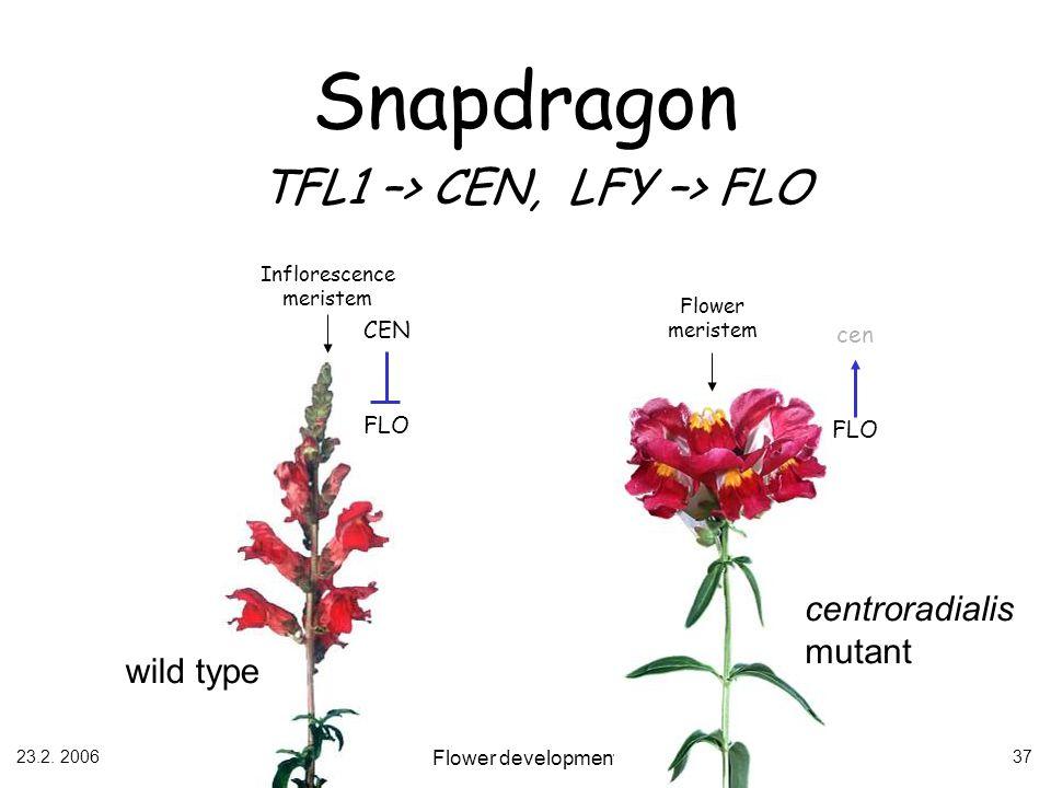 23.2. 2006 Flower development 37 wild type centroradialis mutant Snapdragon TFL1 –> CEN, LFY –> FLO Inflorescence meristem Flower meristem CEN FLO cen