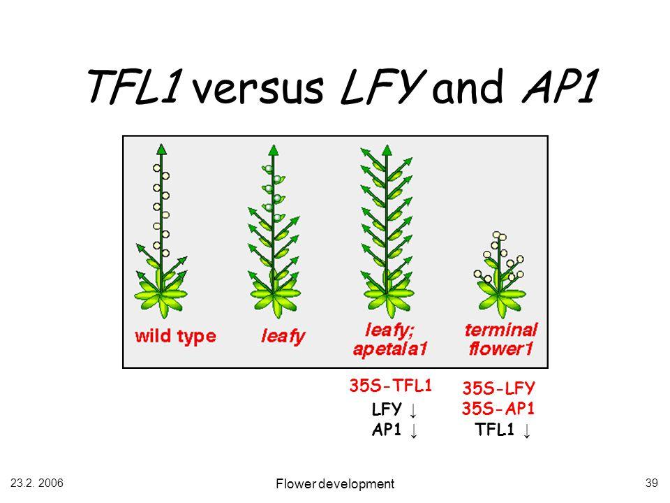 23.2. 2006 Flower development 39 TFL1 versus LFY and AP1 35S-LFY 35S-AP1 35S-TFL1 LFY AP1 TFL1