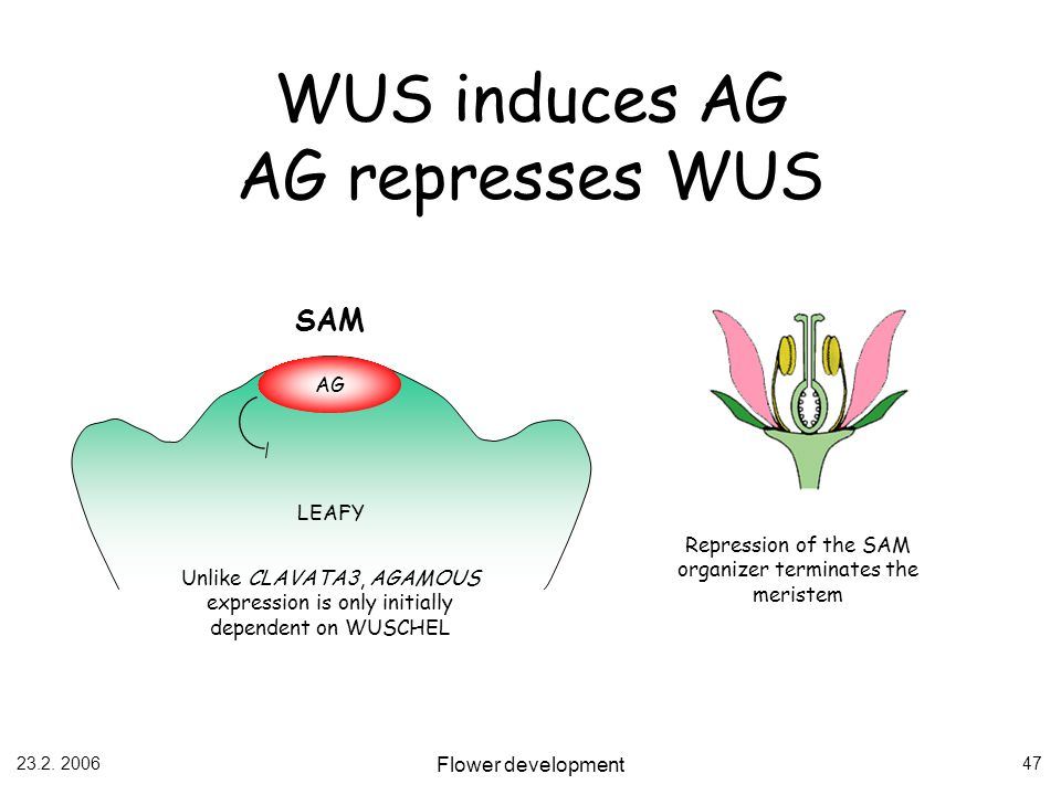 23.2. 2006 Flower development 47 WUS induces AG AG represses WUS AG SAM LEAFY Unlike CLAVATA3, AGAMOUS expression is only initially dependent on WUSCH