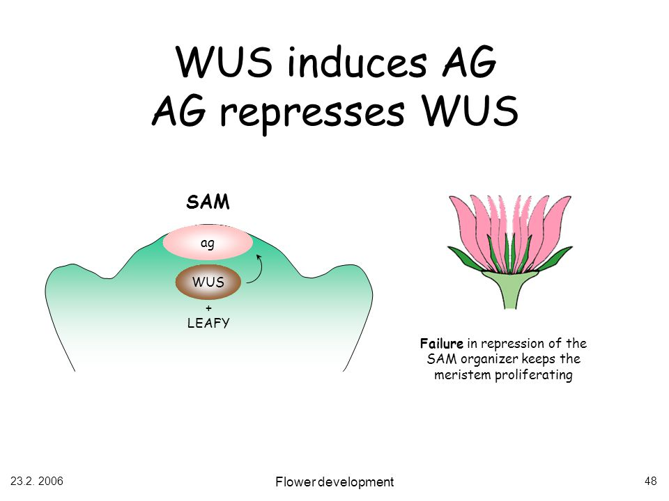 23.2. 2006 Flower development 48 WUS induces AG AG represses WUS WUS ag SAM + LEAFY Failure in repression of the SAM organizer keeps the meristem prol