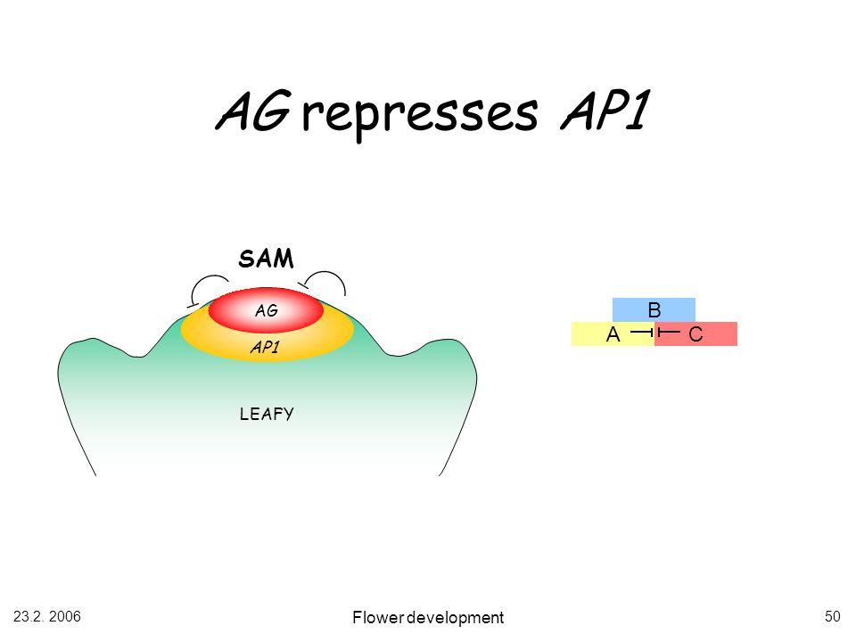 23.2. 2006 Flower development 50 AG represses AP1 AG SAM LEAFY AP1 B AC