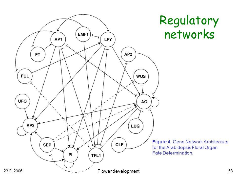23.2. 2006 Flower development 58 Regulatory networks Figure 4. Gene Network Architecture for the Arabidopsis Floral Organ Fate Determination.