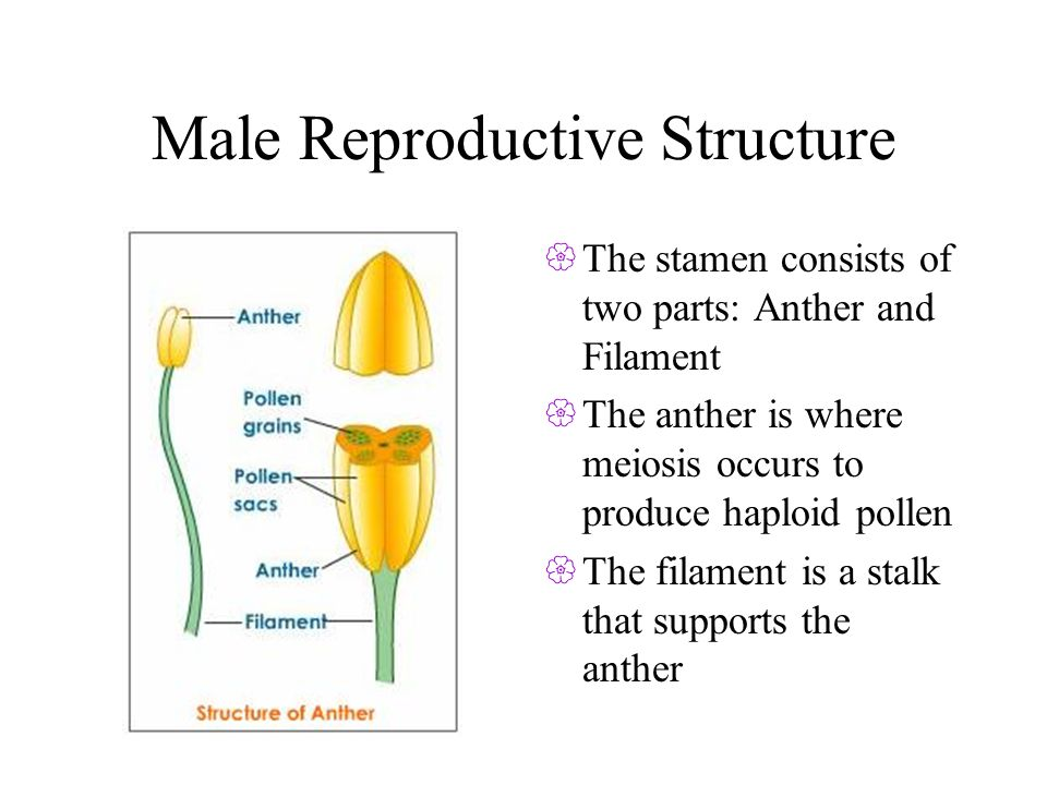Male Reproductive Structure The stamen consists of two parts: Anther and Filament The anther is where meiosis occurs to produce haploid pollen The filament is a stalk that supports the anther