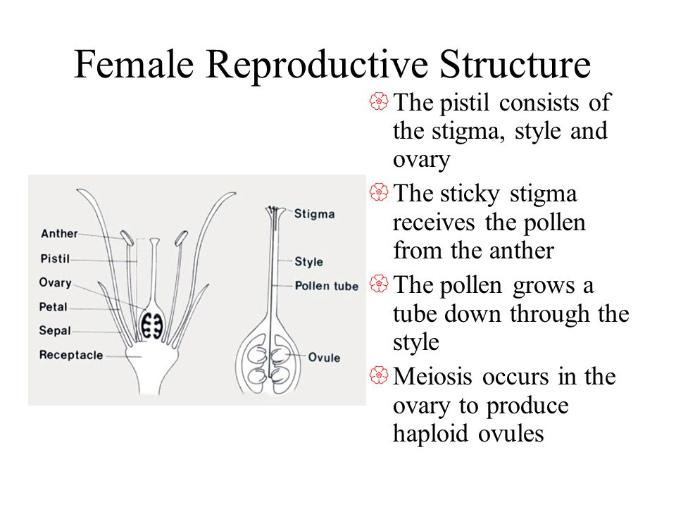 Female Reproductive Structure The pistil consists of the stigma, style and ovary The sticky stigma receives the pollen from the anther The pollen grows a tube down through the style Meiosis occurs in the ovary to produce haploid ovules