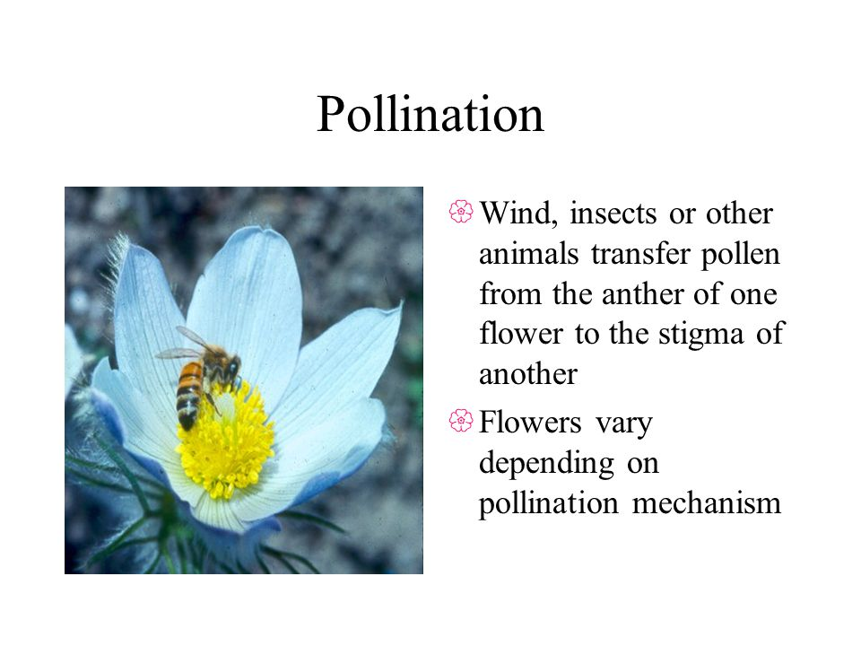Pollination Wind, insects or other animals transfer pollen from the anther of one flower to the stigma of another Flowers vary depending on pollination mechanism