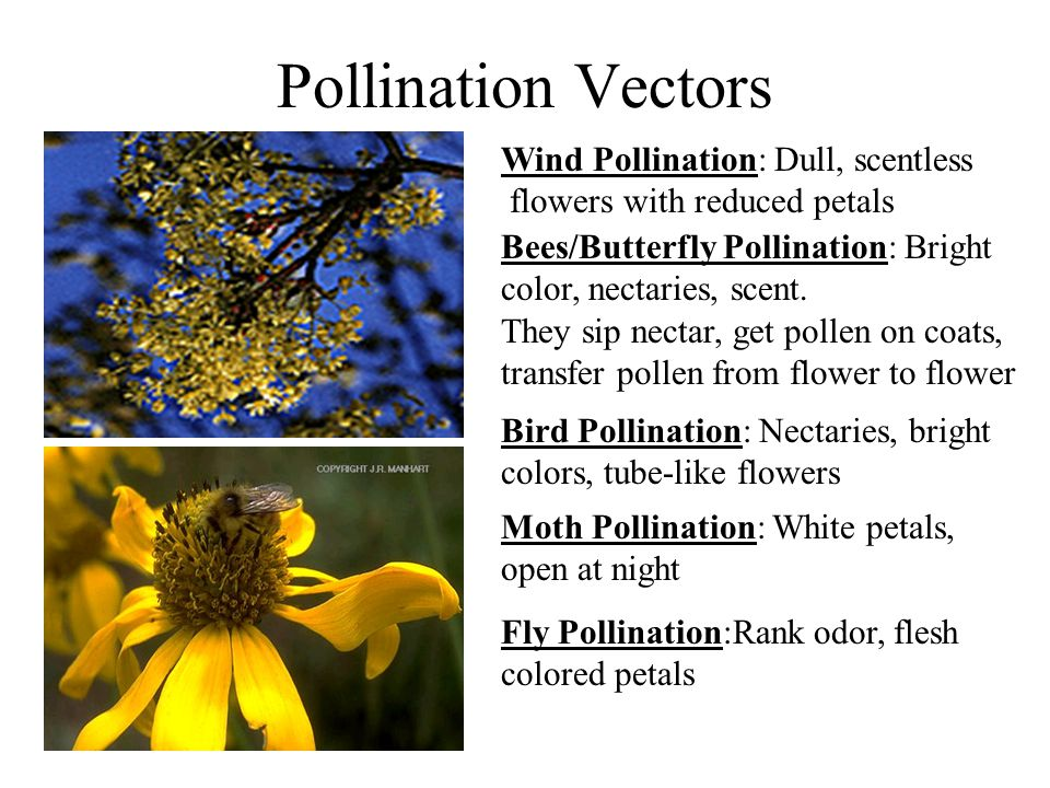 Pollination Vectors Wind Pollination: Dull, scentless flowers with reduced petals Bees/Butterfly Pollination: Bright color, nectaries, scent.