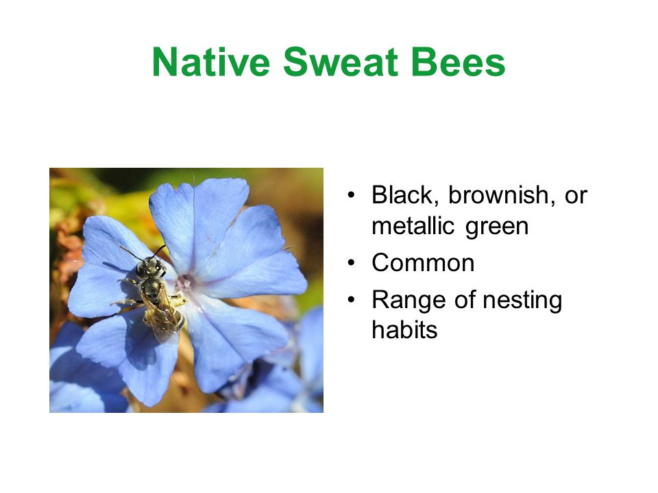 Native Sweat Bees Black, brownish, or metallic green Common Range of nesting habits