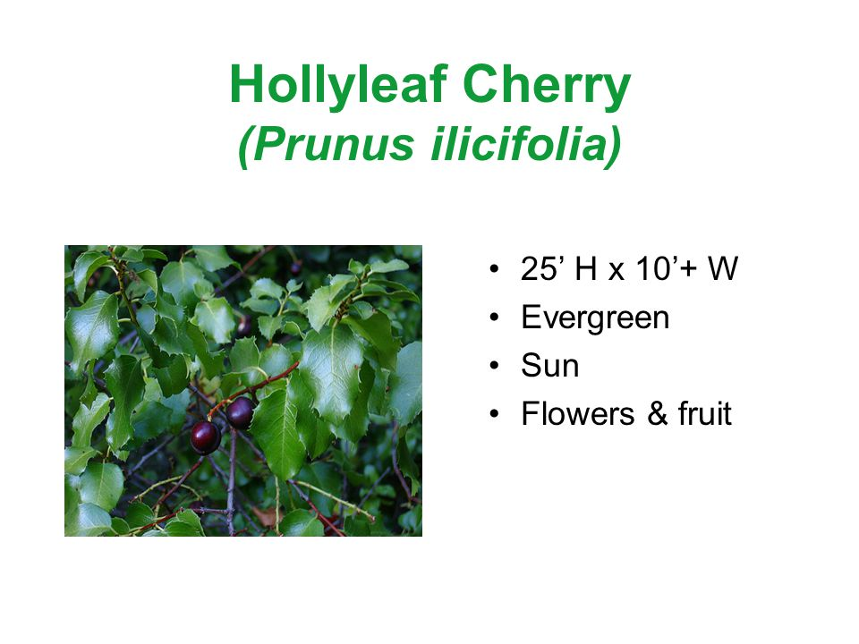 Hollyleaf Cherry (Prunus ilicifolia) 25 H x 10+ W Evergreen Sun Flowers & fruit