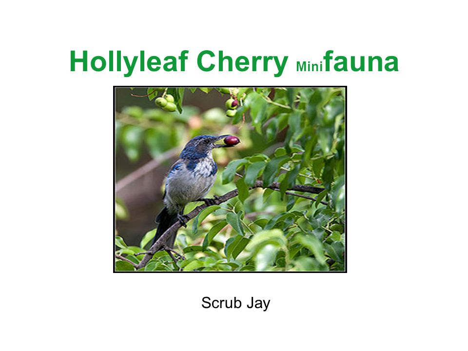 Hollyleaf Cherry Mini fauna Scrub Jay