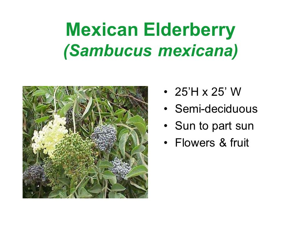 Mexican Elderberry (Sambucus mexicana) 25H x 25 W Semi-deciduous Sun to part sun Flowers & fruit