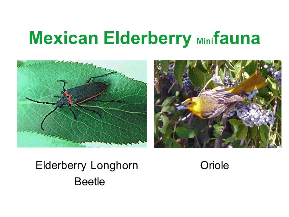 Mexican Elderberry Mini fauna Elderberry Longhorn Oriole Beetle