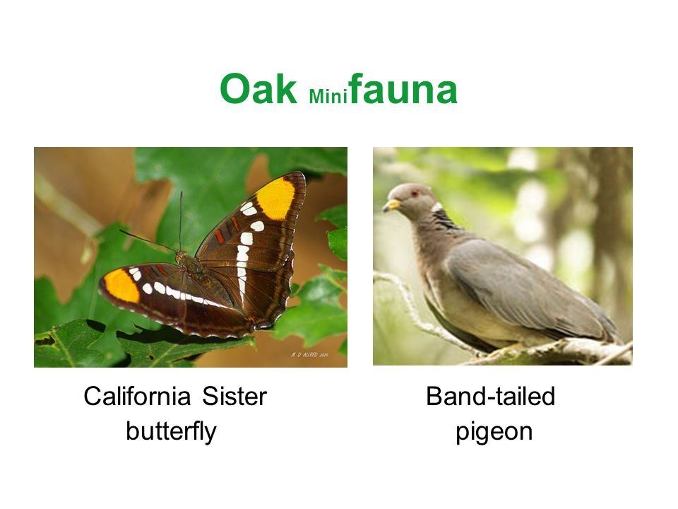 Oak Mini fauna California Sister Band-tailed butterfly pigeon