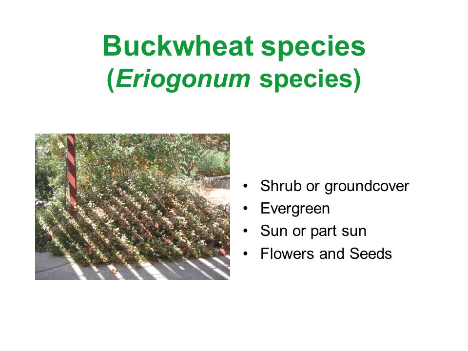 Buckwheat species (Eriogonum species) Shrub or groundcover Evergreen Sun or part sun Flowers and Seeds