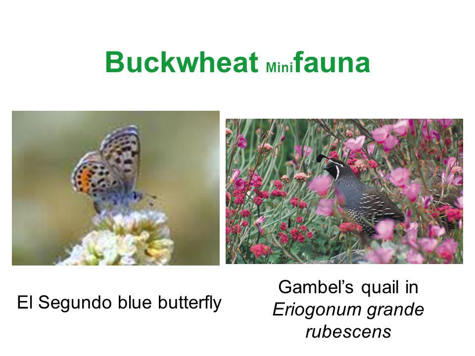 Buckwheat Mini fauna El Segundo blue butterfly Gambels quail in Eriogonum grande rubescens