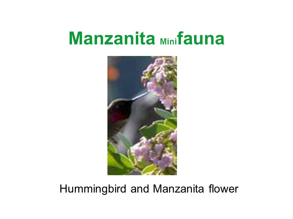Manzanita Mini fauna Hummingbird and Manzanita flower