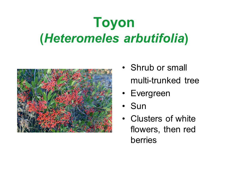 Toyon (Heteromeles arbutifolia) Shrub or small multi-trunked tree Evergreen Sun Clusters of white flowers, then red berries