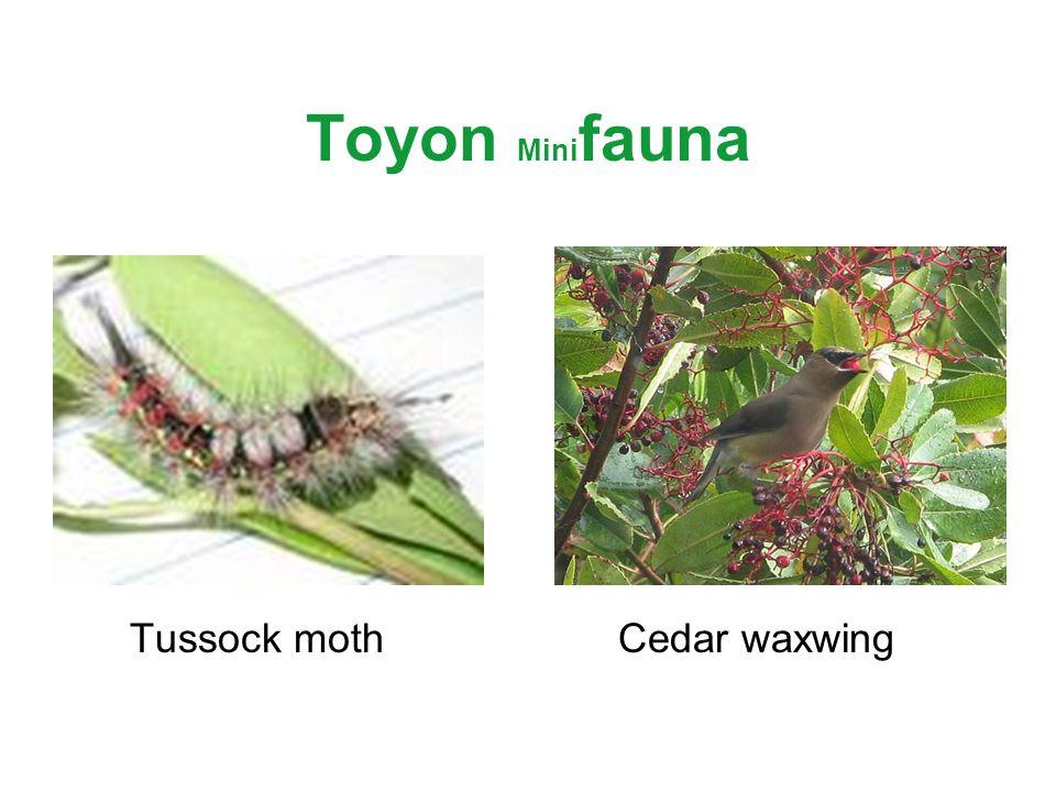 Toyon Mini fauna Tussock mothCedar waxwing