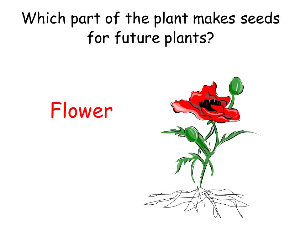 Which part of the plant makes seeds for future plants? Flower